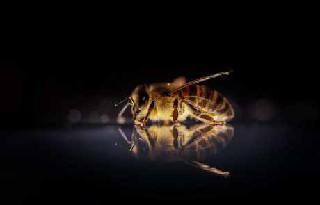 Can bees rely on humans?
