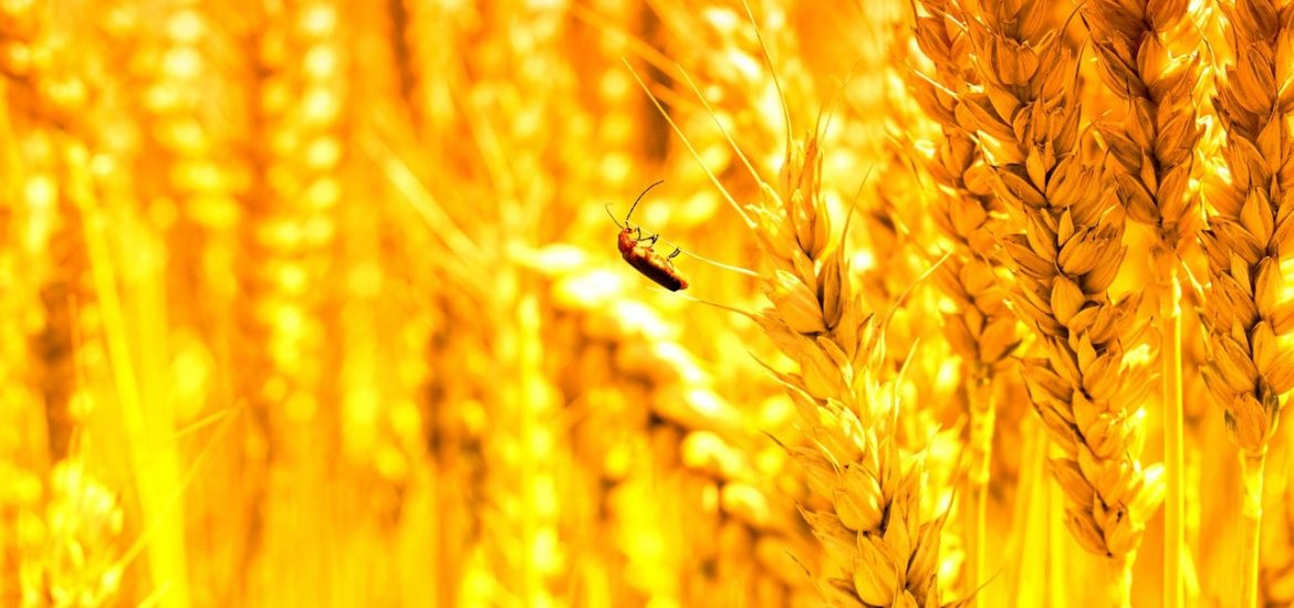 Another way glyphosate is harmful to insects
