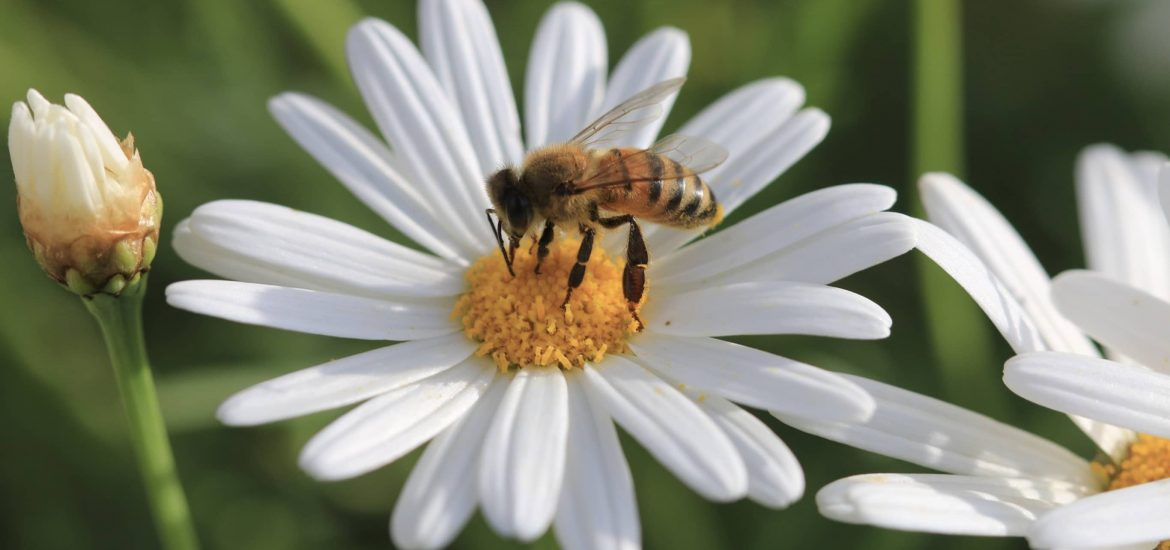 Domestic gardens are vital for bees and other pollinators