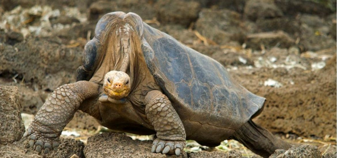 Genome of Lonesome George hints at why giant tortoises can live for so long
