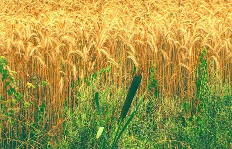 Wheat: from a dry spell to the green shoots of hope?