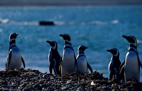Why do more female penguins end up stranded on the South American Coast?