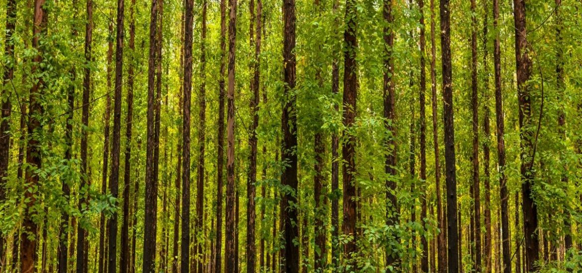 Sustainable forestry organisations should lift ban on GM trees, scientists say