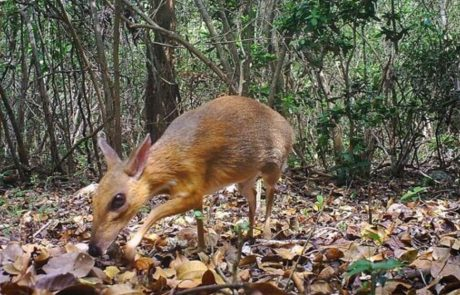 Small deer-like chevrotain 'rediscovered' in Vietnam