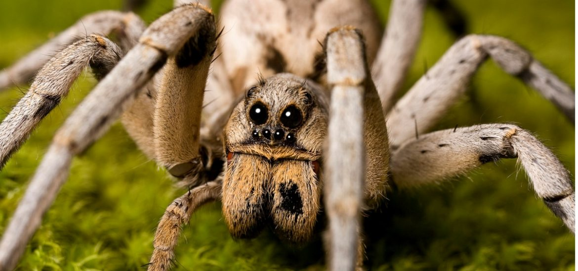 The little spider that could: the tiny wolf spider may be helping to keep the Arctic region cooler