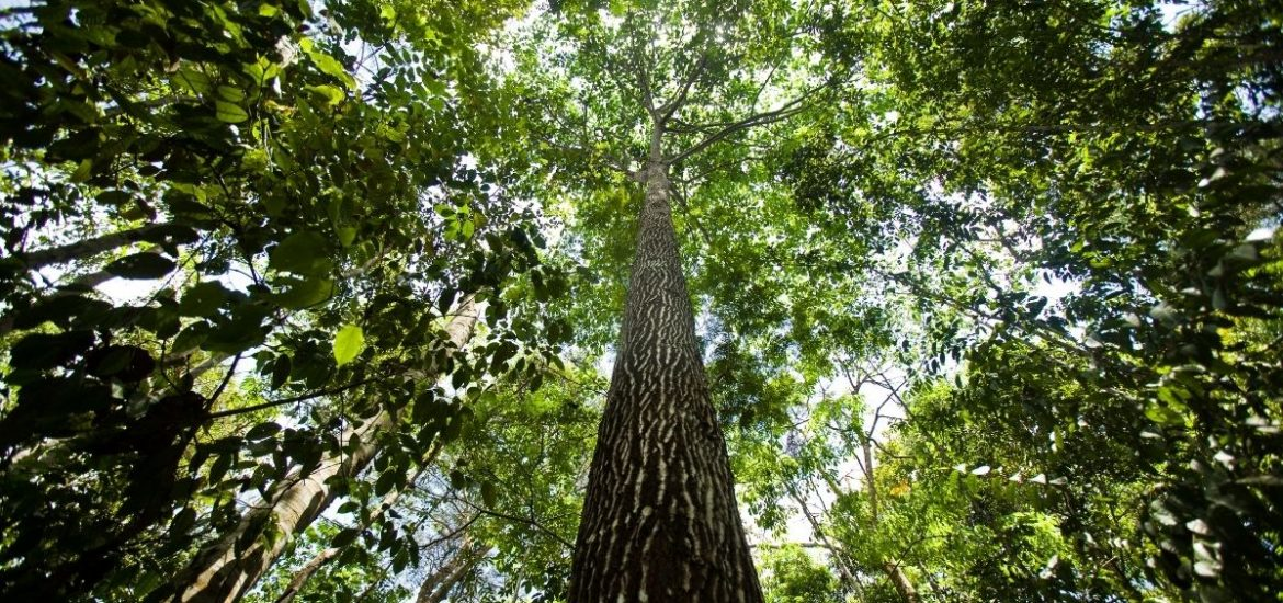 Huge study reveals why trees in the Amazon die
