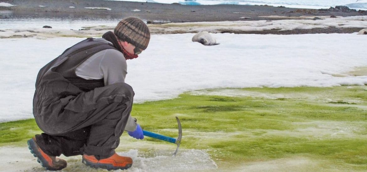 Antarctica is turning greener as a result of climate change