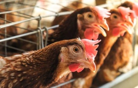 A surge in antimicrobial resistance threatens the livestock industry