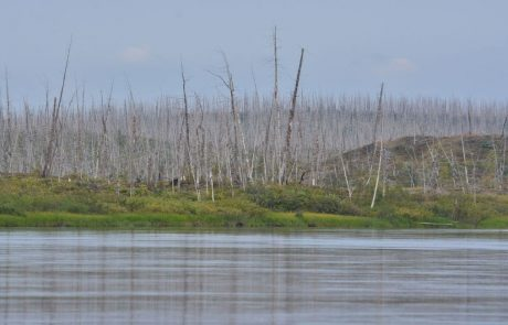 Tree rings reveal the true scale damage caused by Arctic pollution