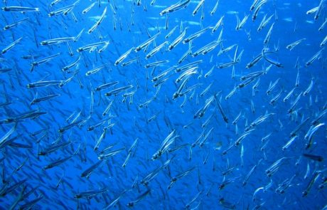 Intensive marine harvesting causes rapid evolutionary changes in fish
