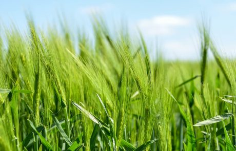 Two-thirds of global cropland affected by climate oscillations