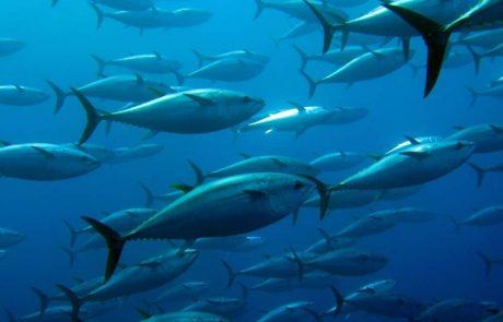 Leaving more big fish in the ocean can reduce carbon dioxide emissions