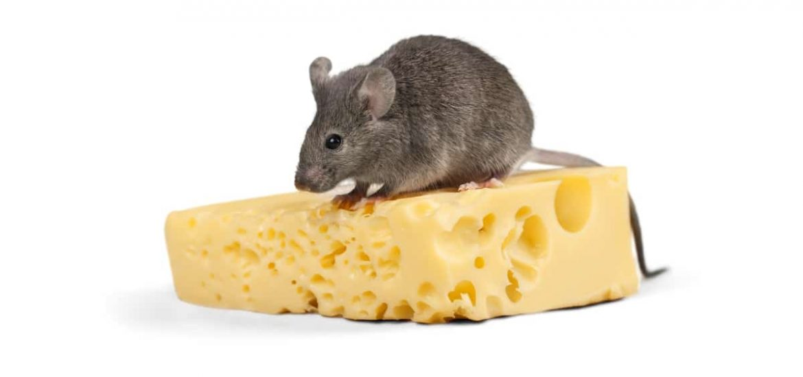 Fatty sugary foods promote overeating by modifying brain cells in mice