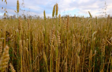 Re-emergence of wheat disease threatens European crops