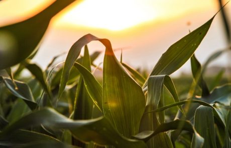 Engineering Photosynthesis: Over-expressing an enzyme in maize could lead to higher yields