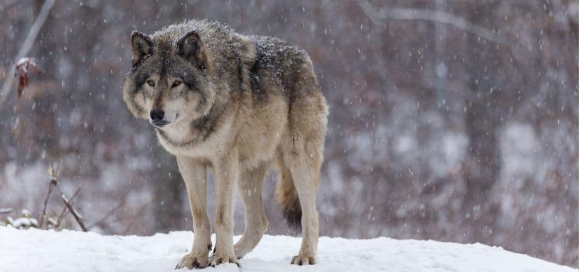 Culling of nearly 500 wolves in Canada failed to protect caribou