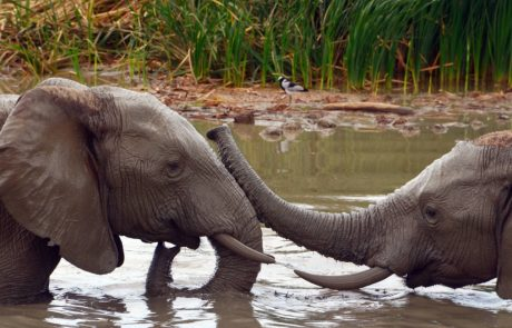 Why don't elephants get cancer?