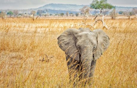 Elephant poaching rates are declining in Africa, but elephants remain threatened