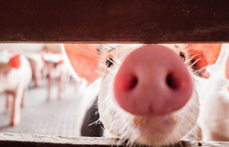 Can gene-edited pigs remedy the global shortage of human organs?