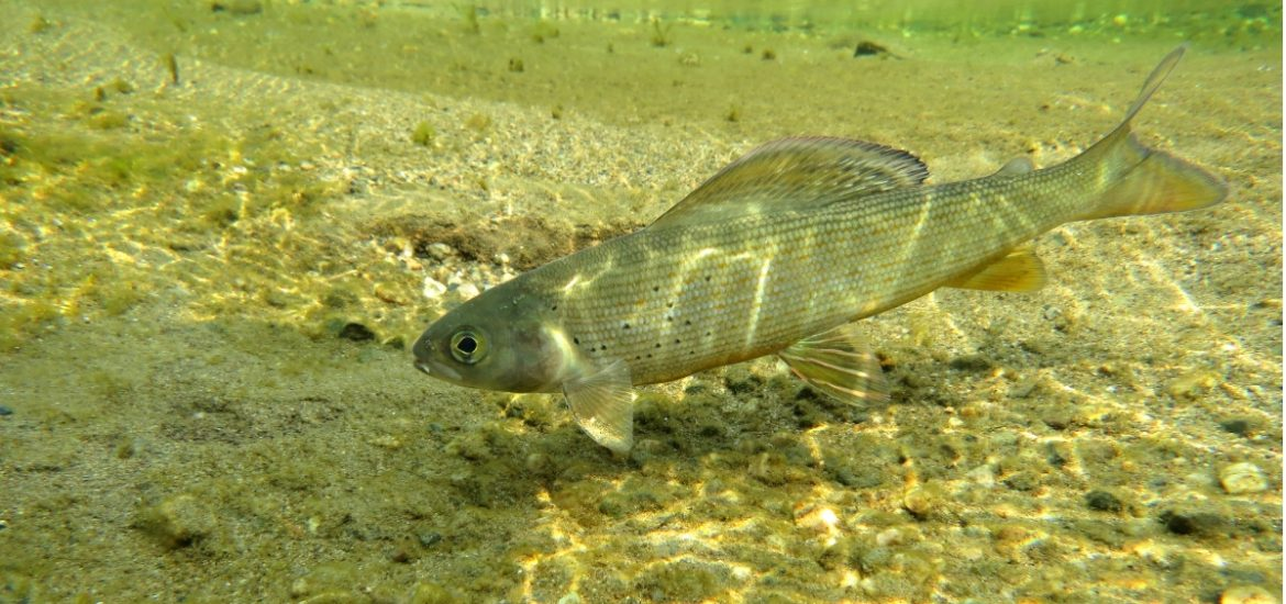 Many native fish species of Bavaria's waterways are at risk of extinction