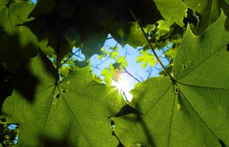 Semi-artificial photosynthesis: turning sunlight into hydrogen fuel