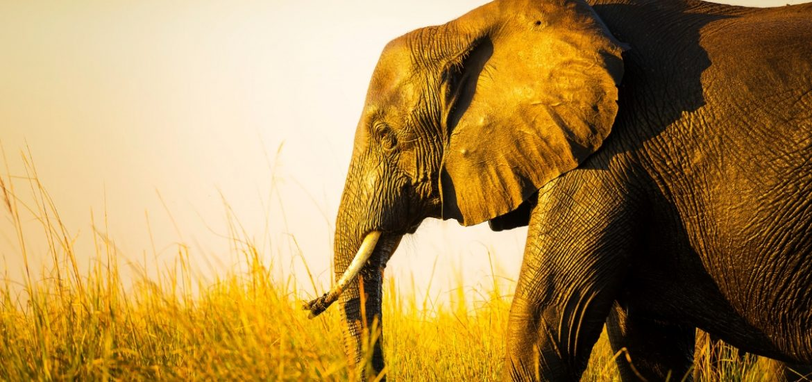 2cd8721c5316 The truth is in the DNA  Researchers are using new tricks to trace ivory  back to smugglers