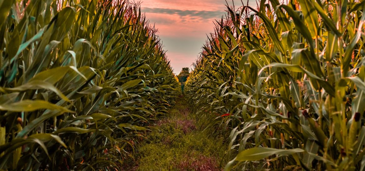 Study finds GMOs increase crop yields and benefit health