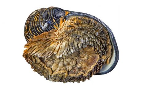 Ocean snail is first deep-sea species officially at risk of extinction from mining