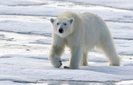 Polar bears may face extinction by the end of the century, scientists say