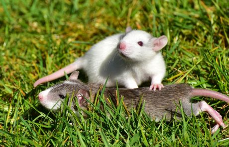 Rats exchange different types of favors, study reveals