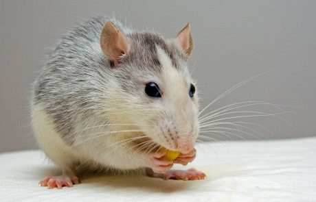 Scientists use gene therapy to treat rats with spinal injury