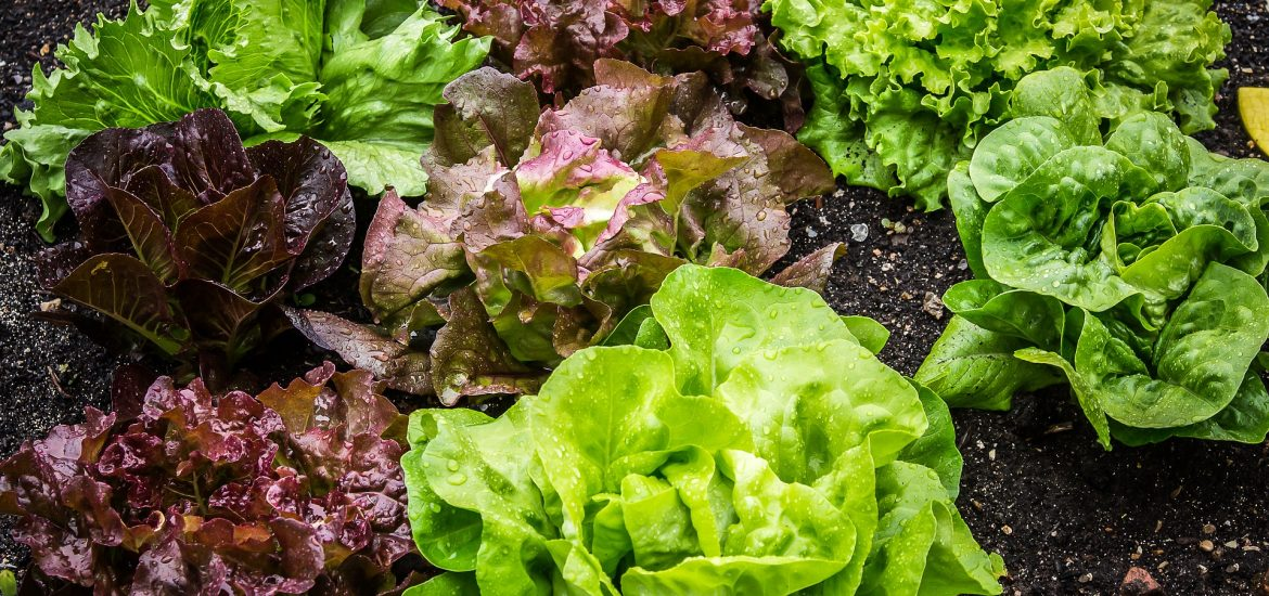 Water and lettuce shortages expected amidst UK heatwave