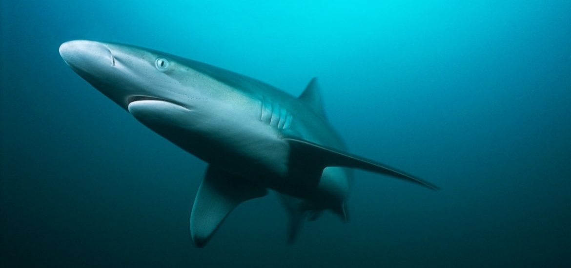 Ocean sharks increasingly threatened by global fisheries