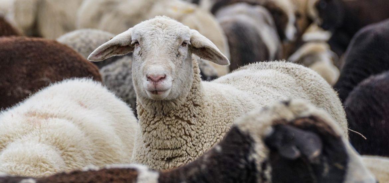 Fessenheim Grec, vache à viande, brebis sous tranxène… bêtisier révélateur