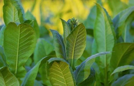 En améliorant la photosynthèse, des scientifiques augmentent de 27 % la productivité des plantes