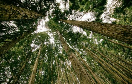 How climate change is affecting global forests: bigger trees are producing more light scattering compounds but may be soaking up less CO2