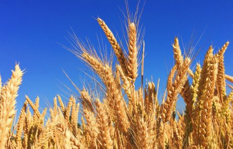 Genetic modification of crops is on the rise but wheat is being left behind
