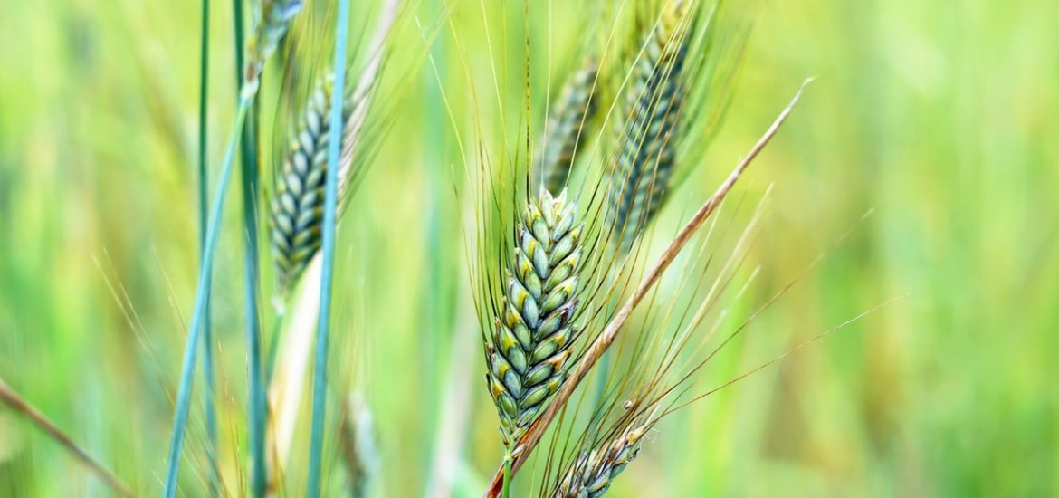 Complex wheat genome finally decoded