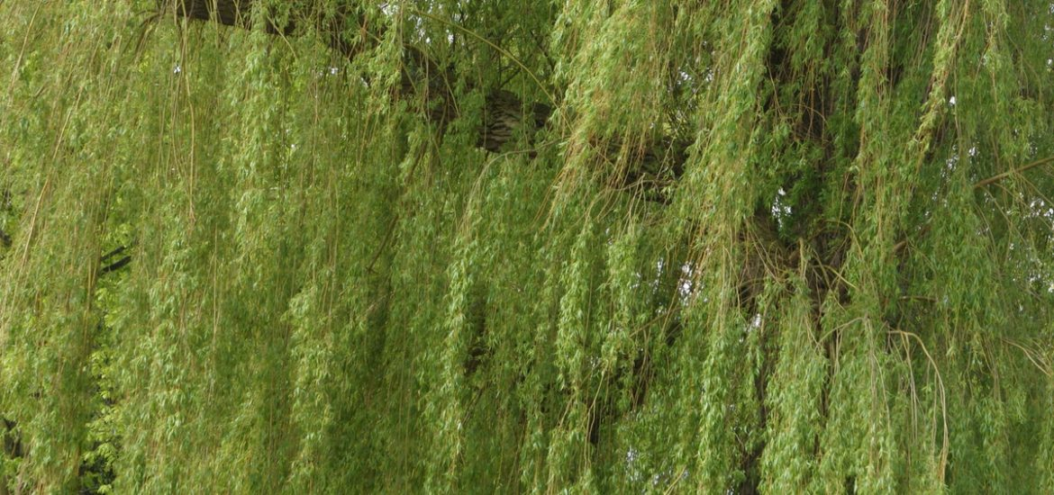 Could bioenergy from willow enable Sweden to become completely fossil-fuel free?